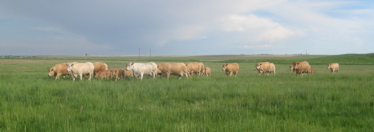 Our cows in pasture.